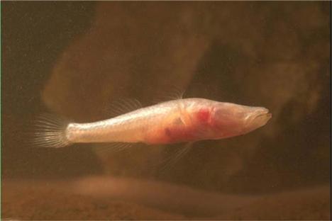 Australian Blind Fish