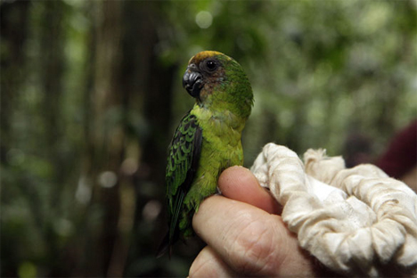 Mount Bosavi buff faced pygmy parrot
