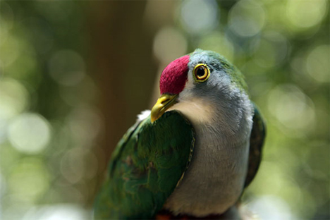 Mount Bosavi fruit dove