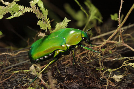 mount bosavi beetle