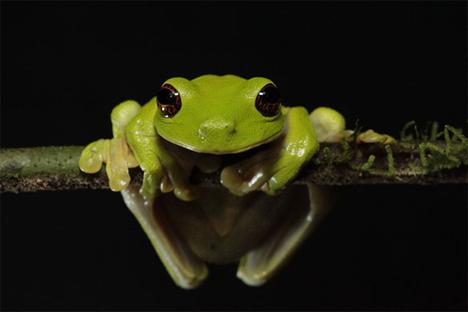 mount bosavi endangered frog
