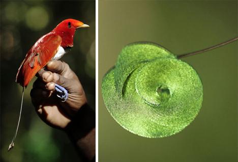 mount bosavi king bird of paradise