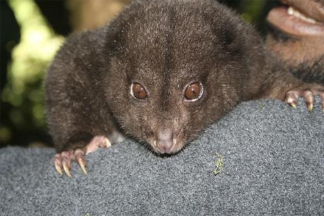 mount bosavi silky cuscus