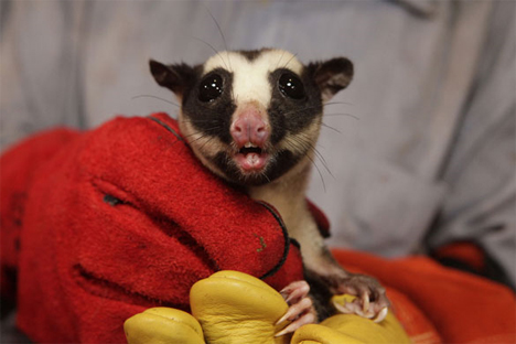 mount bosavi striped possum
