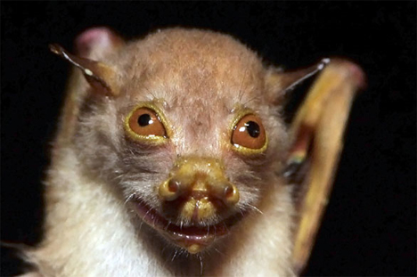 mount bosavi tube-nosed bat