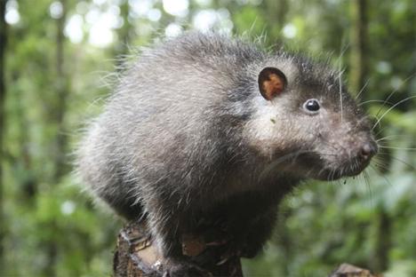 mount bosavi wooly rat