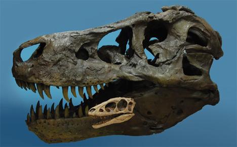 raptorex and t rex skulls