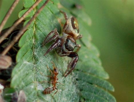 b kiplingi vegetarian spider and ant