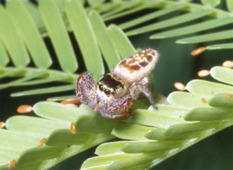 b kiplingi vegetarian spider