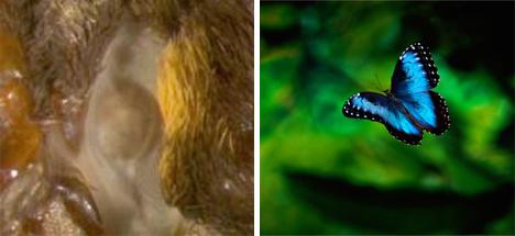 blue morpho butterfly ears