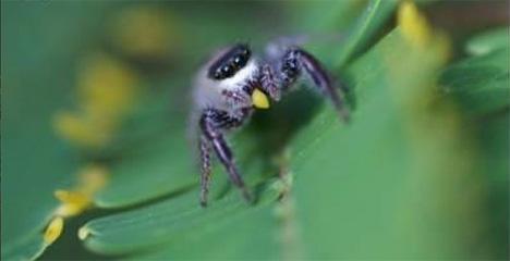 vegetarian spider beltian bodies