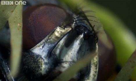 fly trap devouring fly