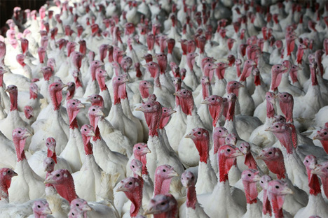 turkey farm biofuel
