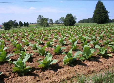 http://gajitz.com/wp-content/uploads/2010/01/tobacco-crop.jpg