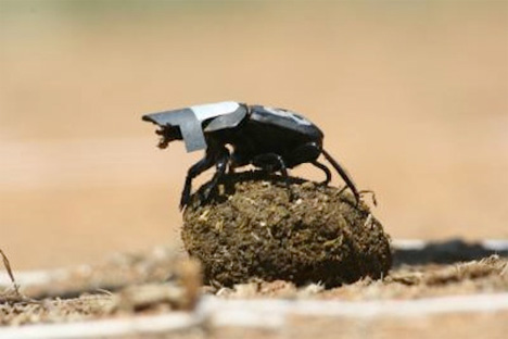 dung beetle navigation research