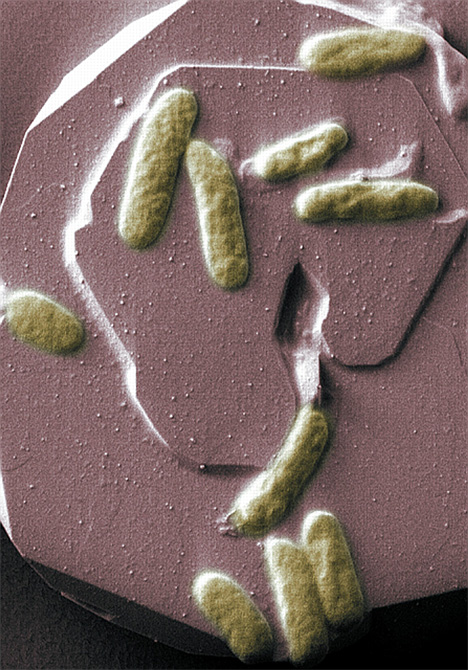 marine bacteria bio-battery