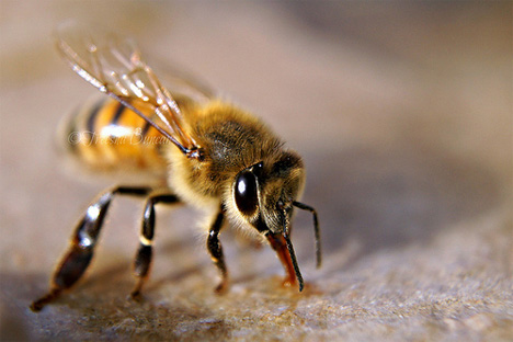 melittin in bee venom toxic to hiv