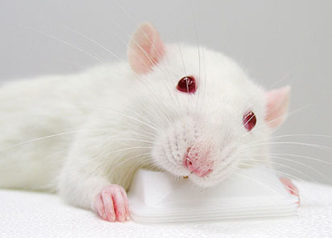 rat spinal cord regeneration