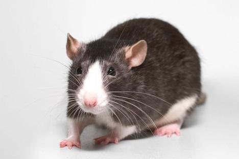 regenerating rat spines