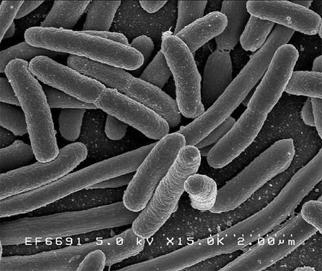 bacteria used to create biofuel