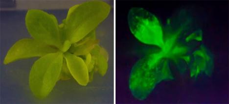 autoluminescent plant