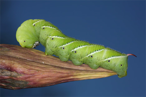 tobacco eating hornwood caterpillar