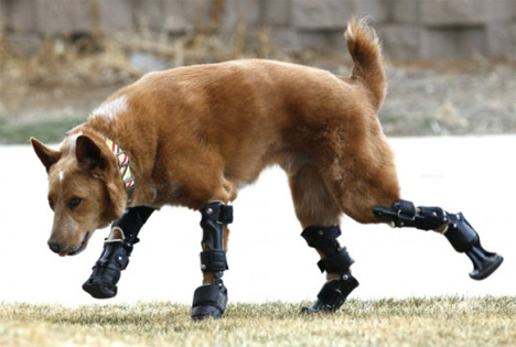 bionic dog four prosthetic limbs