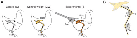experimental chicken dinosaur tail