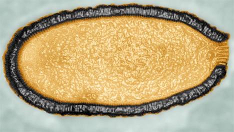 pithovirus sibericum