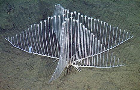 harp spong carnivorous sponge