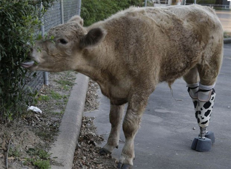 hero cow prosthetic legs