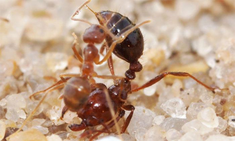 ionic liquid tawny crazy and and fire ant fight