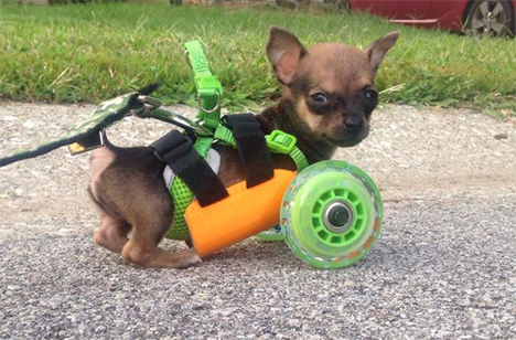custom wheelchair cart two legged chihuahua turboroo