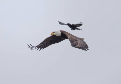 crow eagle landing