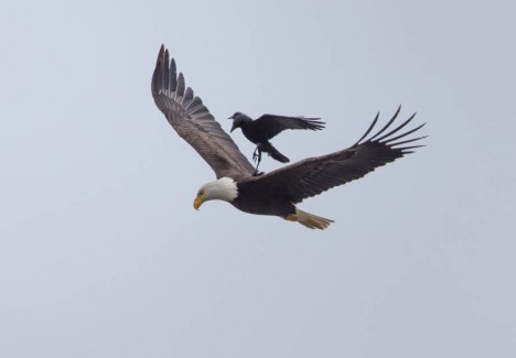 crow on eagle balanced