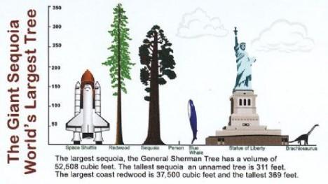 tallest tree comparison structures
