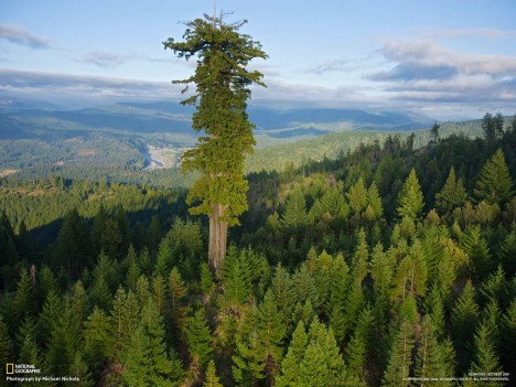 worlds tallest tree