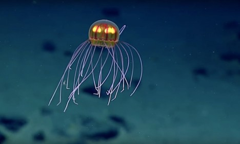 jellyfish discovery