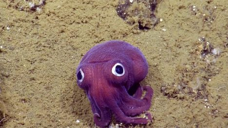 Found at Sea: Googly-Eyed Cuttlefish Looks Like a Pokemon